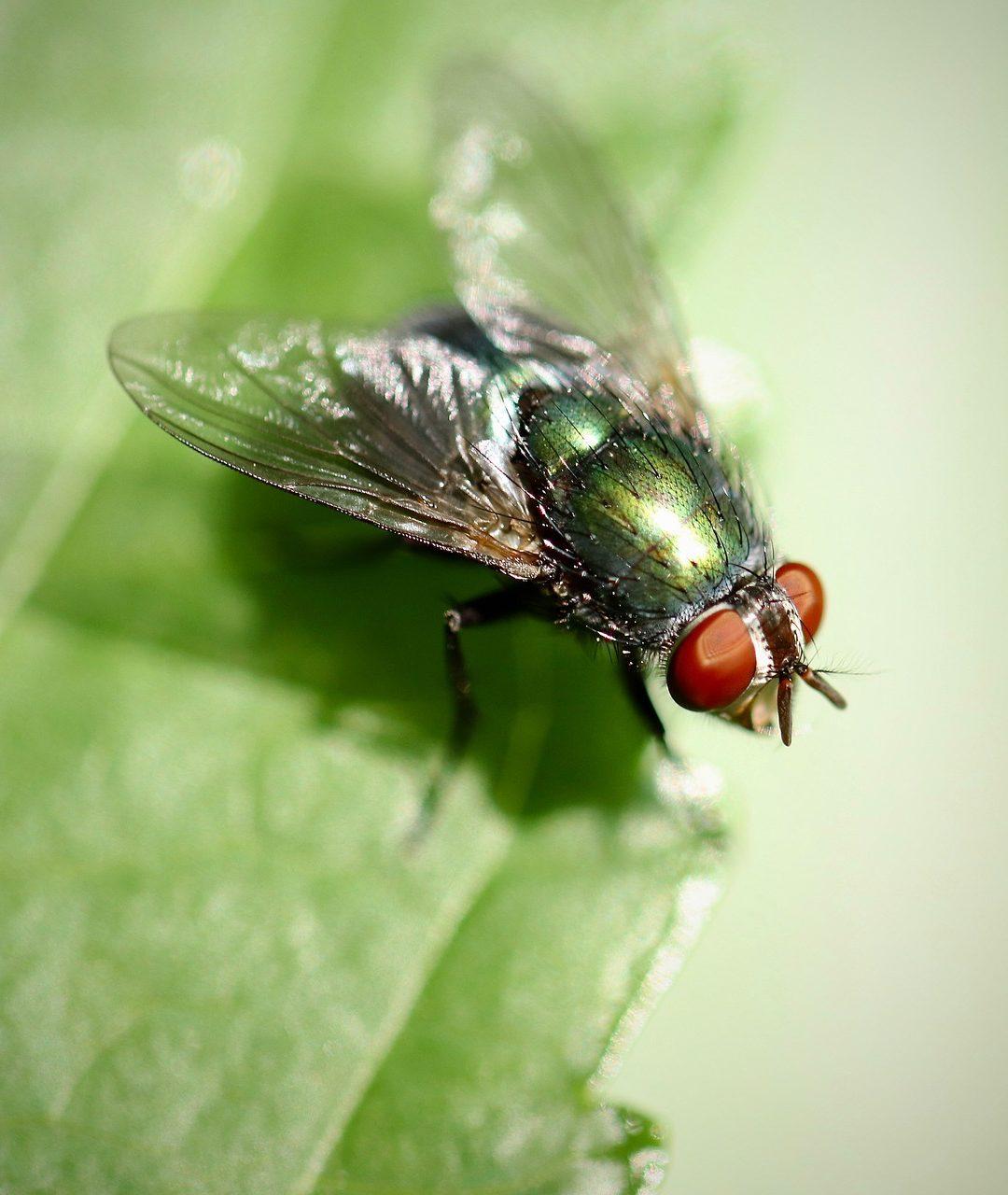Conséquence de la canicule : une invasion de dangereuses mouches Musca Ad Crepitum est attendue en France